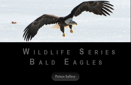 Wildlife Series Bald Eagles