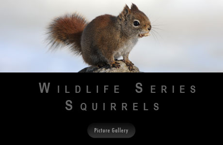 Wildlife Serie Squirrels