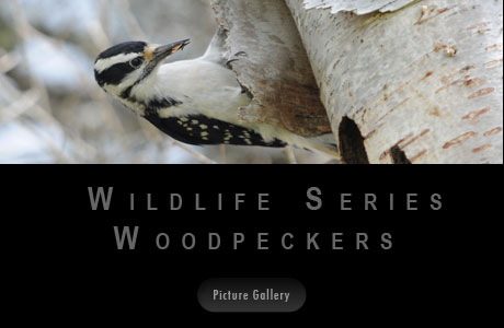 Wildlife Serie Woodpeckers